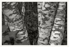 Alder (3) (Robert Drozda) Tags: bw tree washington mountrainiernationalpark alder mora westsideroad drozda