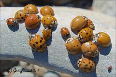 It Takes All Kinds (Jeannot7) Tags: ontario ladybird ladybug cobourg coccinellidae harmoniaaxyridis asianladybeetles