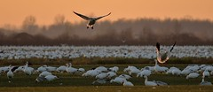 Snow Geese (Roger Daigle) Tags: sunset snow birds geese nikon migration