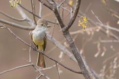 Copetn de Nutting (ik_kil) Tags: birds mxico sinaloa flycatcher mazatln myiarchus nuttingsflycatcher myiarchusnuttingi estadodesinaloa copetndenutting