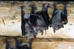flying foxes - fruit bats @ Tel-Aviv, Israel 2015 urban nature (Jan Rillich) Tags: park urban sun nature beautiful beauty animal fauna digital photography eos israel photo telaviv flora foto fotografie image jan wildlife bat picture free sunny urbannature guest fruitbats flyingfoxes 2015 animalphotography hayarkon egyptianfruitbat rousettusaegyptiacus nilflughund egyptianrousette nahalhayarkon janrillich rillich