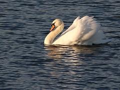 Mute swan (robin denton) Tags: northcavewetlands yorkshirewildlifetrust wildlifetrust ywt nature bird waterbird yorkshire wildlife