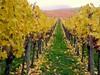grüngelb (almresi1) Tags: autumn germany vineyard herbst bunt weg weinberg stufen treppen remstal strümpfelbach weinsatdt