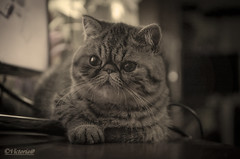 Princess Xena (victoria@) Tags: exoticshorthair elvis xena princess cats mascotas
