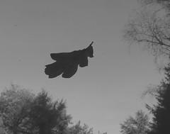 Bien tomber (CcileAF) Tags: canon leaves nature autumn black white monochrome minimalist sky trees nb