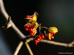 Pittosporum tobira (Shiori Hosomi) Tags: flowers plants japan december   2014  pittosporum  apiales pittosporaceae