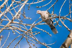 Dove in a Tree (pixr4ut) Tags: winter macro bird dc dove sigma os jordan parkway hsm f3563 jordanparkway 18250mm sigma18250mmf3563dcosmacrohsm