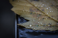 Waterdrops on a leaf (michael.taferner) Tags: autumn brown black macro fall water up yellow rollei canon dark out eos leaf drops focus close tripod bubbles drop crop fixed 28 usm 60mm efs focal lenght 600d apsc