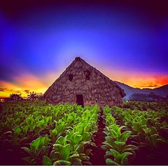 #Viales #Cuba #Tabacco Field #Cohiba TourGuide - Casa Renga y Julia Book your #Holiday here. www.CasaVinales.jimdo.com #Bedandbreakfast and Tours in #vinales (Casa Particular Vinales) Tags: holiday cuba bedandbreakfast vinales tabacco cohiba viales