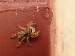Araña saltarina (Jorge Solís Campos) Tags: naturaleza nature animal fauna spider costarica wildlife arachnid wildanimal araña salticidae arácnido invertebrados animalsalvaje pérezzeledón vidasalvaje arañasaltarina