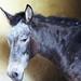 Mule, India