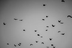 Come fly with me - 353:265 (susivinh) Tags: bird birds banda fly flying flock pjaros pjaro volando volar bandada