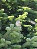 Δεντρο με φυσικο στολιδι DSC08498 (omirou56) Tags: tree bird nature natur natura greece ελλαδα φυση δεντρο δασοσ ελατο sonydschx9v
