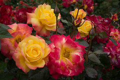 Beautiful Roses (fred.carter) Tags: northamerica usa flora flowerbud flowers fredcarter garden overcast plant rhythm rosebud roses travel travelling vacation weather
