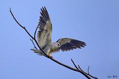 Black Shoulder Kite (Ken Goh thanks for 2 Million views) Tags: black shoulder kite sky pentax k5 sigma 500 f45 clean perch nature nopeople wildlife