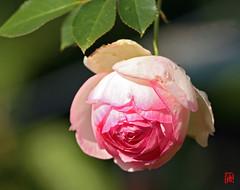 Un rose ancienne comme pour Marie-Antoinette (mamnic47 - Over 6 millions views.Thks!) Tags: bagatelle parcdeversailles jardinsdebagatelle animaux fleurs 15102016 paris16me img3002 rose roseancienne pierrederonsard meilland