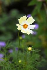 2016 Cosmos flowers (shinichiro*) Tags: 20161022sdq1273 2016 crazyshin sigmasdquattro sdq sigma1770mmf284dcmacrohsm autumn october flower macro cosmos  yokohama kanagawa japan jp