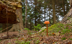 Deceiver (Laccaria laccata) (markhortonphotography) Tags: autumn toadstool laccarialaccata seedling fungi mycology deepcut surrey macro thatmacroguy fungus surreyheath nature deceiver mushroom markhortonphotography pineneedles