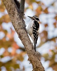 Hairy Woodpecker (female) (johnny4eyes1) Tags: autumn hairy nature wildlife fall birds woodpecker