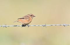 Stonechat (vause_gary) Tags: saxicolatorquata barbed wire paaserine bird