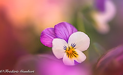 lying in the Autumn.. (frederic.gombert) Tags: flower flowers pansy red pink yellow color colors macro green sun sunlight sony alpha7 full frame hanks