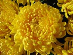 JOY  2 (ricMon chemin ) Tags: flower nature jaune yellow automne autumn chrysanthme chrysanthemum joy joie octobre october