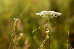 *** (pszcz9) Tags: polska poland przyroda nature natura zblienie closeup bokeh beautifulearth sony a77