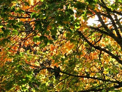5134 Backlit Sycamore autumn colour at Plas Newydd (Andy - Daft as a brush - don't ask!) Tags: 20161021 aaa autumncolour brynsiencyn ccc cymru nationaltrust northwales ooo orange plasnewydd red rrr sss sycamore tree ttt