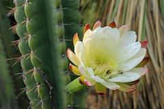 Echinopsis - Botanische Garten der Universität Wien-000 - kopie (Ruud de Block) Tags: botanischergartenderuniversitätwien cactaceae echinopsissp ruuddeblock
