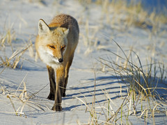 Red Fox (Brian E Kushner) Tags: redfox red fox mammal vulpesvulpes island beach state park islandbeachstatepark berkeley nj new jersey nikon d4s nikond4s nature bkushner wildlife animals brianekushner nikon70200mmf28 70200mm f28 nikor