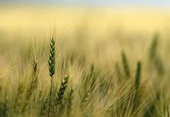 Wheat (TigerPal) Tags: saskatchewan sask prairie plains dustyroad gravelroad ellisboro wheat quappellevalley quappelle grain agriculture nature