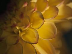 Lumire intrieure ** (Titole) Tags: yellow dahlia light titole nicolefaton petals ptales shallowdof thechallengefactory