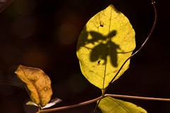 IMG_0031_3 Shadows of Fall (oldimageshoppe) Tags: leaf fall shadow honeysuckle vine colors