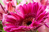 Pink (Steve-h) Tags: nature natura natur naturaleza pink gerbera dublin ireland europe autumn october 2016 ef eos canon camera zoom lens ismode1 steveh indoor monopod backlight contrajour contraluz allrightsreserved