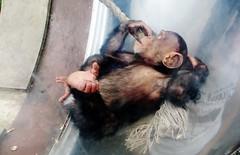 Pan troglodytes --  Chimpanzee child at play 1367 (Tangled Bank) Tags: asahiyama zoo hokkaido japan japanese asia asian animal zoological gardens pan troglodytes chimpanzee child play 1367 primate chimp juvenile ape
