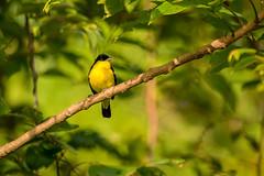 Solitude (malc1702) Tags: commonlora birds wildlife animals nature perch tree leaves birdsinthewild indianbirds asianbirds nikond7100 tamron150600 bokeh