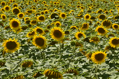 Fort de tournesols (Flikkersteph -4,000,000 views ,thank you!) Tags: rural landscape nature summer beautiful plantation sunflowers countryside fields clearsky champagneetfontaine prigord france