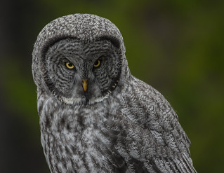 A Great Grey Scowl