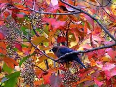 Rusty Blackbird in berries (4148) (lnmp_ny) Tags: birds blackbirds rustyblackbird bogmeadowtrail saratogacounty saratoga autumn rusty