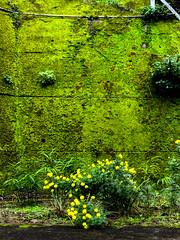 20161021_01 (jam343) Tags: isahaya motono nagasaki frog green iphone iphoneography moss nature wall yellow