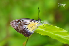 The Malayan Wanderer ♀ - ผีเสื้อฟ้าเมียเลียนมลายู (Antonio Giudici Butterfly Trips) Tags: thailand ranong butterflies lepidoptera themalayanwanderer female ผีเสื้อฟ้าเมียเลียนมลายู pieridae pierinae pareroniavalerialutescens