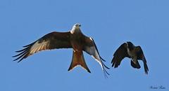 Nibbio Reale - Red Kite ( Milvus Milvus ) (Michele Fadda) Tags: canoneos70d sigma150600mmf563dgoshsm contemporary015 sigma150600c sardinia sardegna italy redkite milvusmilvus nibbioreale nature natura avifauna bird volatile volo flight uccello faunaprotetta rapace raptor falco photoscape