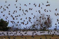 Bandada (cazador2013) Tags: pajaros aves estorninos bandada cielo arboles volar