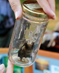 Little Brown Bat (Delta Naturalists Casual Birding) Tags: starrynight deas dncb