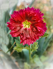 Red Hollyhock (http://fineartamerica.com/profiles/robert-bales.ht) Tags: forupload projects alcearosea mallowfamily hollyhock biennial perennial palmatelylobedleaves flowerbloom ornamental plant flower pedals flowerphotography sensational spectacular awesome magnificent peaceful surreal sublime magical spiritual inspiring inspirational haybales canonshooter scenic greetingcards pink spring red wow stupendous superb tranquil singleflower blurredbackground stem blossom nature yellow herbaceous hibiscus robertbales vignette
