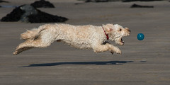 Turbo flying ! (DP the snapper) Tags: ball turboflying whitesandsbay pembrokeshire beach cockapoo brilliant
