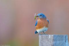 BJ8A4976-Eastern Bluebird (tfells) Tags: eastern bluebird bird nature nj new jersey mercer princeton thrush
