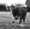 Young Bullock (LindaShaws Images) Tags: countryside field outdoors bullock cow looking farming farm uk