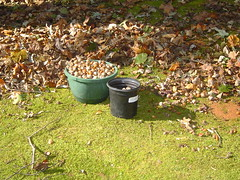 Mast Year (Dennis Peatee) Tags: sixpoplars redoak acorn moss mossgarden whiteoak