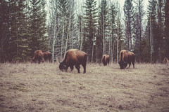 Small Herd (Trevor McGoldrick) Tags: buffalo yukon bison north america canon 5 d mark iii 3 5dmark 5dmark3 5dmarkiii nature animal wild wildlife winter spring canada outdoors forest rocky mountains northern road trip travel vacation adventure explore trevor mcgoldrick